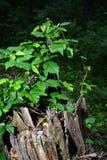与植被的树桩 免版税库存照片
