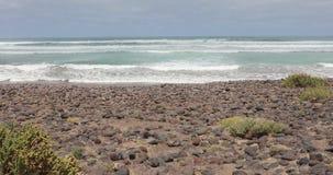 与植被的狂放的海滩在兰萨罗特岛,加那利群岛,西班牙 股票视频
