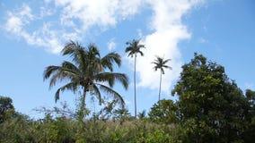 与椰子树和山的风景 股票录像