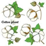 与概述棉花蒴束的传染媒介在白色背景隔绝的集合与叶子和胶囊 华丽耕种的棉树 向量例证