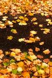 与槭树叶子的美好的秋天背景关闭  五颜六色 免版税库存图片