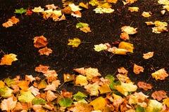 与槭树叶子的美好的秋天背景关闭  五颜六色 库存图片