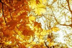与槭树的抽象秋天自然背景离开 免版税库存照片