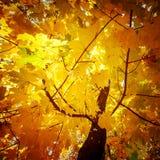 与槭树的抽象秋天自然背景离开 免版税库存图片