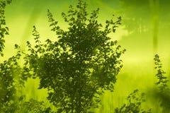与槭树的早晨雾 库存图片