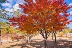 与槭树的秋天风景在公园 30更改的卫兵7月韩国国王好朋友s汉城南部 免版税库存照片