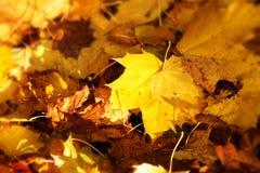 与槭树的金黄棕色秋叶的背景 图库摄影