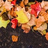 与槭树秋叶的背景在秋天公园 室外autu 免版税库存图片