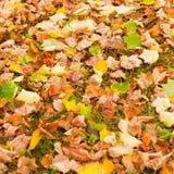 与槭树秋叶的背景在秋天公园 室外autu 库存照片