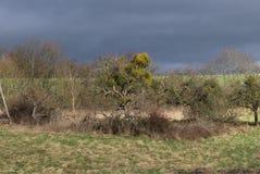 与槲寄生的树在一个草甸在温和的德国冬天晒干 免版税库存照片