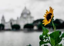 与模糊的维多利亚纪念品的向日葵 库存图片