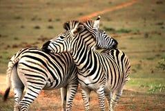 与横渡的脖子的非洲逗人喜爱的斑马 免版税库存照片