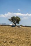 与橄榄树和白色教堂的希腊风景 免版税库存图片
