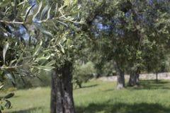 与橄榄树的背景在夏天在托斯卡纳 库存照片