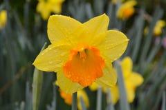 与橙色中心的黄色黄水仙 图库摄影