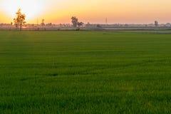 与橙色光的绿色米领域从日落 免版税库存照片