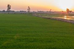 与橙色光的绿色米领域从日落 库存照片
