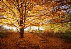 与橙色叶子的巨大的树 库存图片