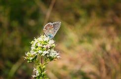 与橙色和交通事故多发地段的蓝色蝴蝶Polyommatus在与白色瓣的一朵花栖息 免版税库存图片