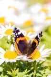 与橙色和白色斑点的好的黑暗的蝴蝶在翼 免版税库存图片