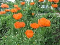 与橙色和精美瓣的开花的鸦片在庭院里 免版税库存照片