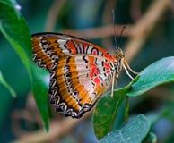 与橙色和红色白色翼的美丽的蝴蝶 库存照片