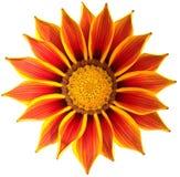 与橙色和黄色瓣的一朵明亮的杂色菊属植物花 库存照片