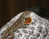 与橙色喉头爱好者的布朗Anole蜥蜴 免版税库存图片