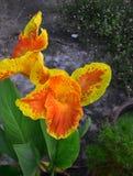 与橙色开花的亚洲人坎纳花的黄色 免版税库存照片