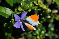 与橙色技巧的蝴蝶 免版税库存图片