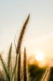 与橙色日落的开花的草 免版税库存图片