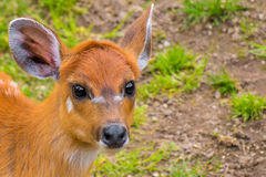 与橙色毛皮白色条纹的西部sitatunga marshbuck 免版税库存照片
