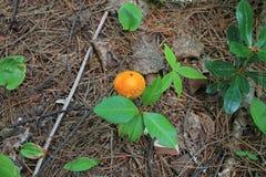 与橙色盖帽的狂放的蘑菇 库存照片