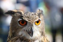 与橙色眼睛和厚实的全身羽毛的巨大的猫头鹰 免版税库存图片
