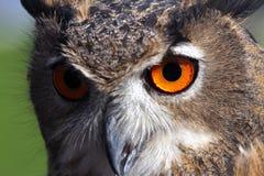与橙色眼睛和厚实的全身羽毛的巨大的猫头鹰 免版税库存照片