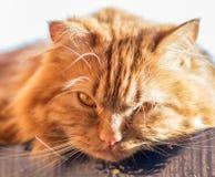 与橙色眼睛的红色蓬松猫 库存图片
