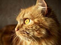 与橙色眼睛的红色蓬松猫 免版税库存照片