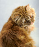 与橙色眼睛的红色蓬松猫 免版税图库摄影