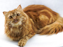 与橙色眼睛的红色蓬松猫 图库摄影