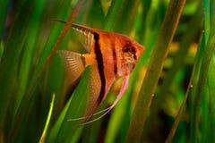 与橙色美丽的橙色鱼的绿色水草 Pterophyllum scalare神仙鱼,自然绿色栖所 橙色和桃红色鱼 库存图片