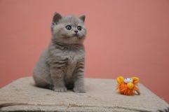 与橙色背景,可爱和逗人喜爱的小小猫的英国shorthair小猫 免版税库存图片