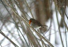 与橙色颜色的乳房的一只鸟,坐分支 免版税库存图片