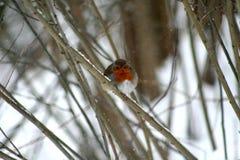 与橙色颜色的乳房的一只鸟,坐分支 库存照片