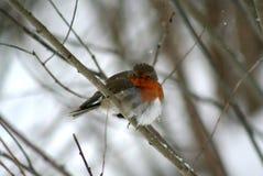 与橙色颜色的乳房的一只鸟,坐分支 图库摄影