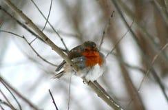 与橙色颜色的乳房的一只鸟,坐分支 库存图片