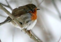 与橙色颜色的乳房的一只鸟,坐分支 免版税图库摄影