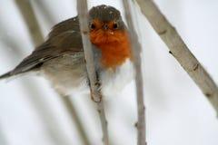 与橙色颜色的乳房的一只鸟,坐分支 免版税库存照片