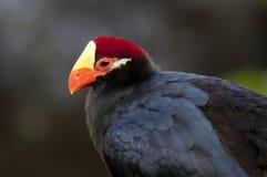 与橙色额嘴的黑鸟 免版税库存照片
