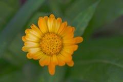 与橙黄色瓣的大丽花花 免版税库存图片