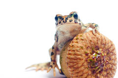 与橡子的逗人喜爱的小的青蛙 库存图片